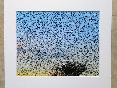 Sky Full of Starlings - 10x8 mounted print