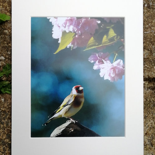 'Goldfinch in blue & pink' 10x8 signed & mounted print