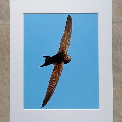 Swift - 10x8 mounted print
