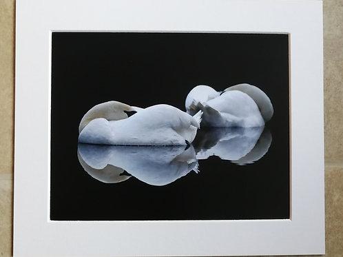 Sleeping Swans - 10x8 mounted print