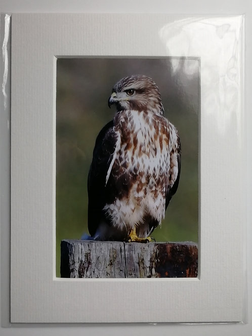 Buzzard on a post - 6x4 mounted print