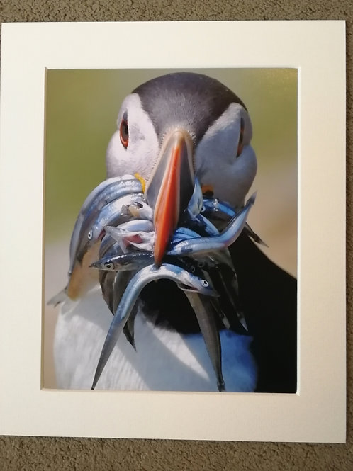10x8 mounted print, Puffin & Fish