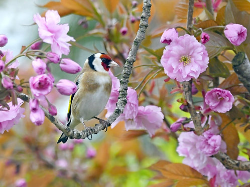 1000 piece Jigsaw Puzzle, Goldfinch in Cherry Blossom