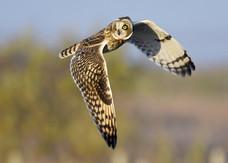 70. Short Eared Owl.JPG