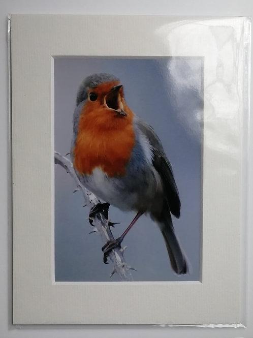 Singing Robin - 6x4 mounted print
