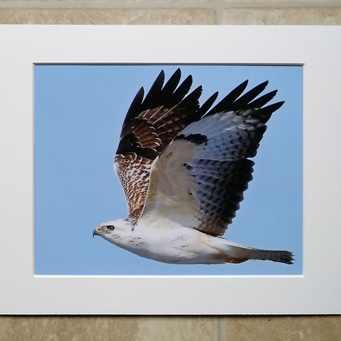 Pale Buzzard in flight - 10x8 mounted print