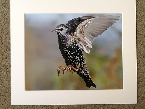 10x8 mounted print, Starling in flight