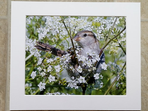 Young Sparrow in cow parsley - 10x8 mounted print