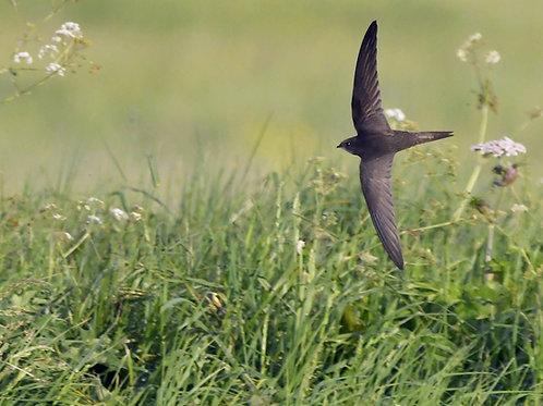 Digital print - Low Flying Swift