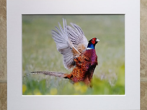 'Male Pheasant in a flap' 10x8 mounted print