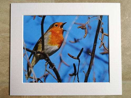 Robin in song - 10x8 mounted print
