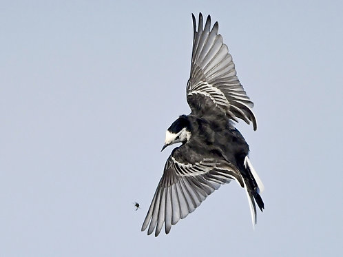 Digital print - Pied Wagtail after a fly