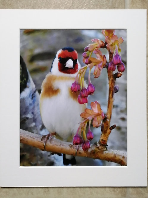 Goldfinch & blossom buds - 10x8 mounted print
