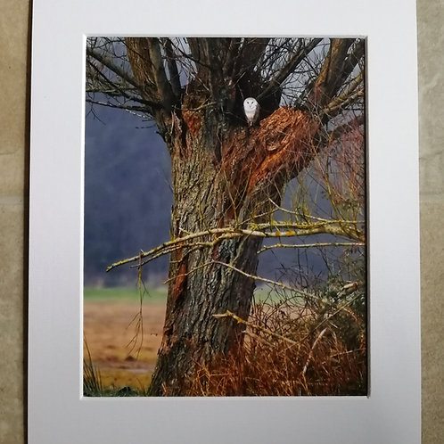 The Watcher - Barn Owl 10x8 mounted print