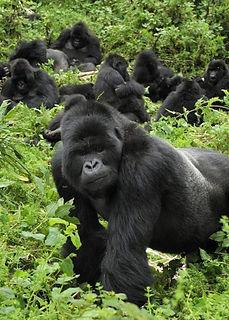 Gorrila-In-Rwanda-Park.jpg
