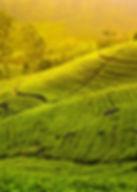 hatton-tea-fields-sri-lanka.jpg