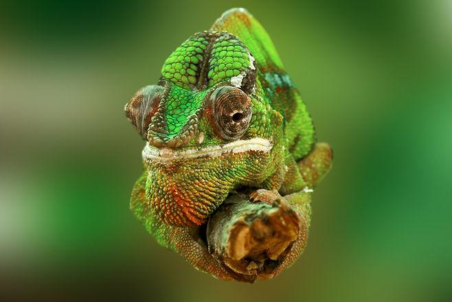 chameleon-540655.jpg
