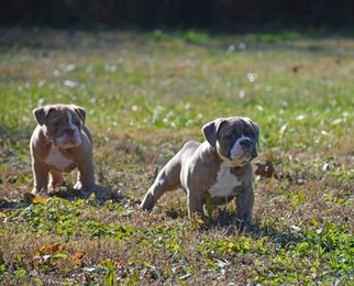 Hank & Jersey (June x Louie pups)
