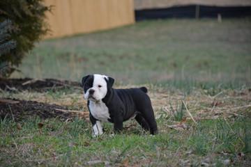 Rocco (Mabel x Diesel)