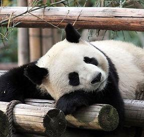 panda du zoo de beauval