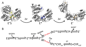 enzyme dynamics CPR