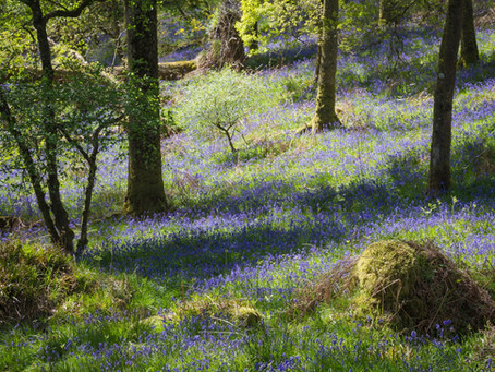 Where to see the best displays of Bluebells.