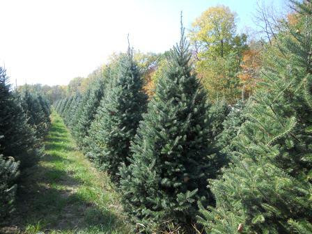 Indiana Real Christmas Tree Producers Prepare for Busy Season