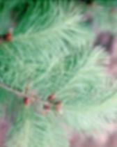Douglas fir branch