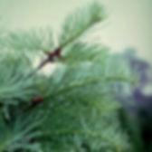 Concolor fir branch