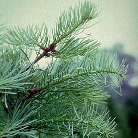 Concolor fir branch