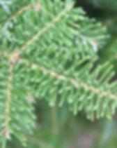 Caaan fir branch