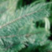 Scotch pine branch