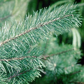 Scotch pine branch