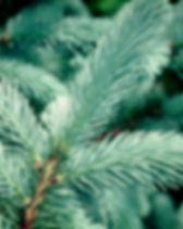 Colorado blue spruce branch