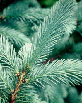 Colorado blue spruce branch