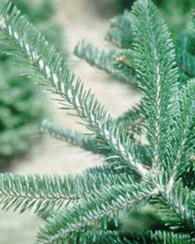 Fraser fir branch