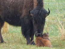 Bison with baby just born