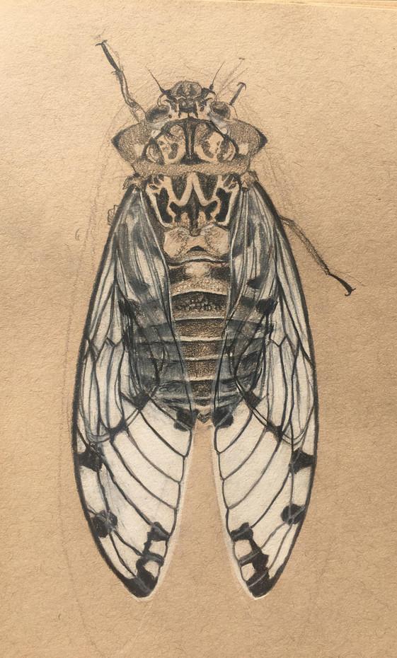 Cicadoidea