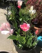 tulipe_edited.jpg