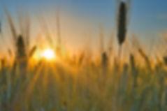 blé soleil.jpg