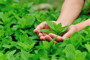 Fresh Organic Peppermint used in our Products