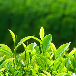 Healthy Organic Green Tea used in our Products