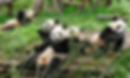 chengdu pands