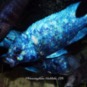 Placidochromis phenochilus tanzania