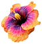 Hibiscas%202_edited.png