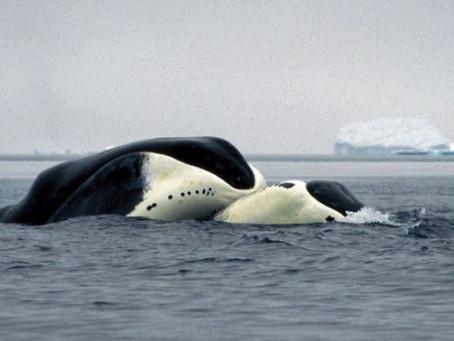 La baleine boréale et son élixir de jeunesse