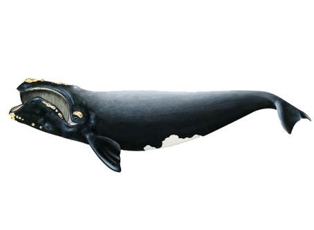 North Atlantic Right Whales the endangered tribe
