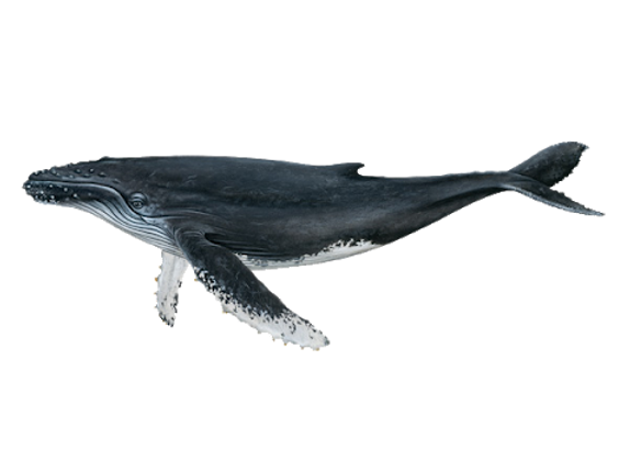 Humpback_whale.png