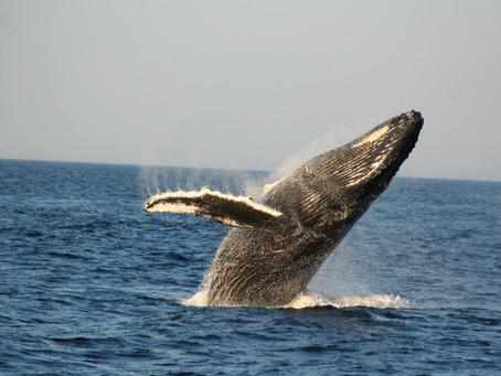 Pourquoi protéger les baleines?