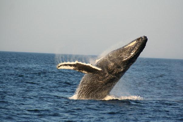 Baleine à bosse,  Cape Cod